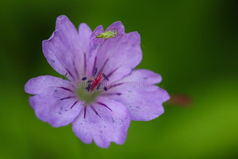 与一只小的昆虫的紫色cranesbill 库存照片