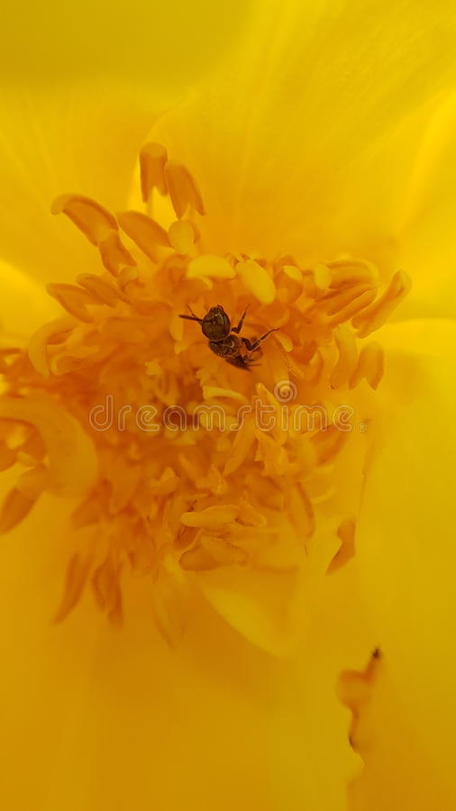 丁香黄色小�_与一只小蜂的黄色花-宏观clouseup