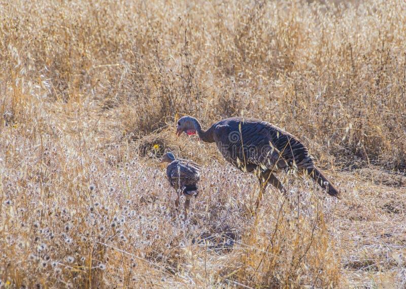 与一只小鸡的野生土耳其母鸡 免版税库存图片