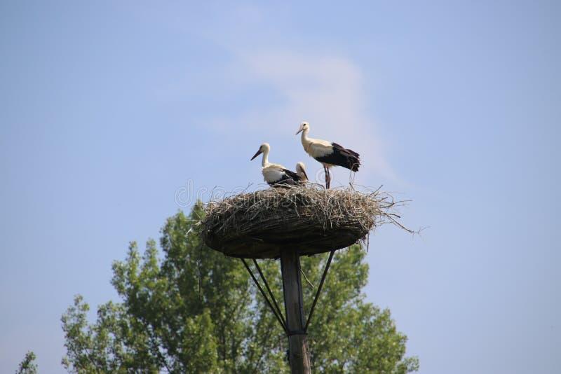 与一只小鸡的鹳在一根杆的巢在艾瑟尔河畔卡佩勒在荷兰 库存图片