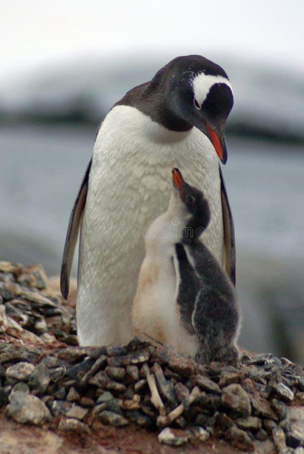 与一只小鸡的Gentoo企鹅在南极洲 免版税库存图片