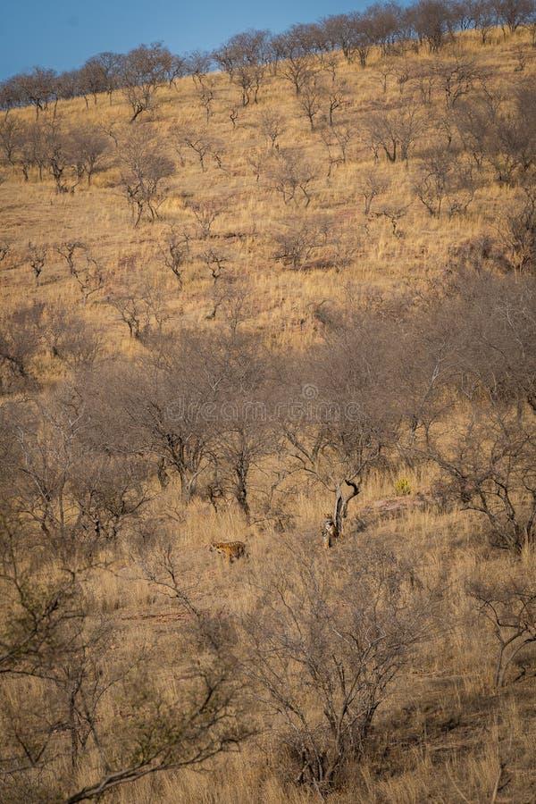 与一只母老虎和她的三新的崽的栖所图象在Ranthambore国立公园 美丽的母老虎努尔和她的三崽 库存照片