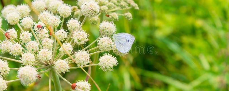 与一只瓢虫和蝴蝶在一朵白色野花在草甸-宏指令的横幅 图库摄影