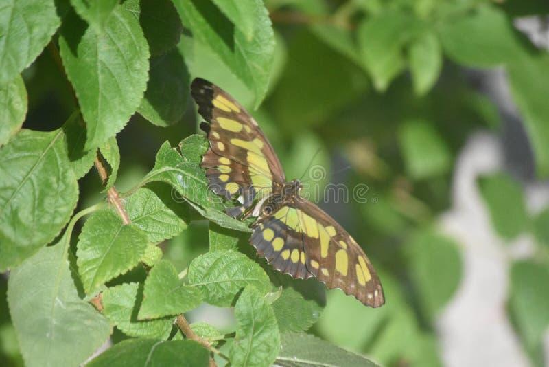 与一只绿色和黑绿沸铜蝴蝶的关闭 库存照片