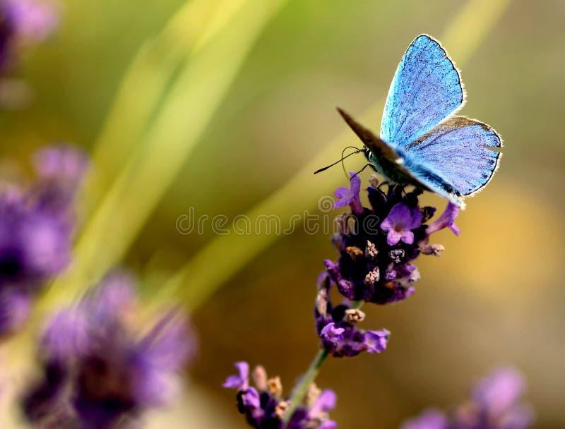 与一只美丽的蓝色蝴蝶的开花的淡紫色 库存照片