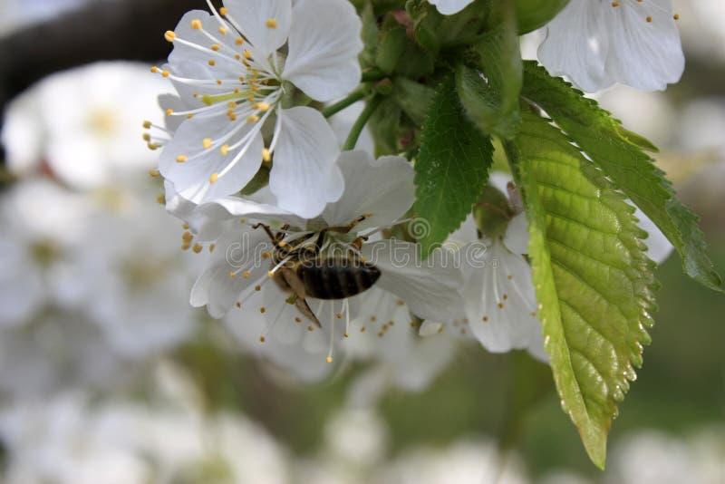 与一只蜂的开花的果树在一朵白桃红色花 被弄脏的背景,清楚的晴朗的春日 r 免版税库存照片