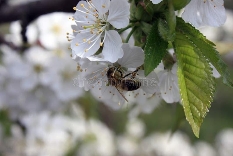 与一只蜂的开花的果树在一朵白桃红色花 被弄脏的背景,清楚的晴朗的春日 r 免版税库存图片