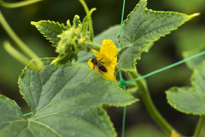 与一只蜂的开花的黄瓜黄色花在庭院里 菜绽放,小和新鲜的黄瓜,背景 ?? 库存照片