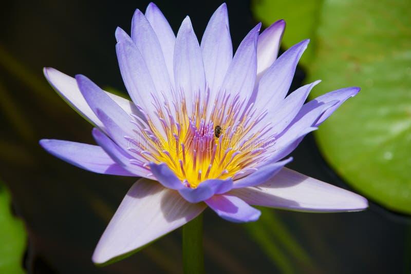 与一只蜂的美丽的蓝色和黄色莲花在它在一个池塘在毛里求斯海岛的Pamplemousse植物园里 免版税图库摄影