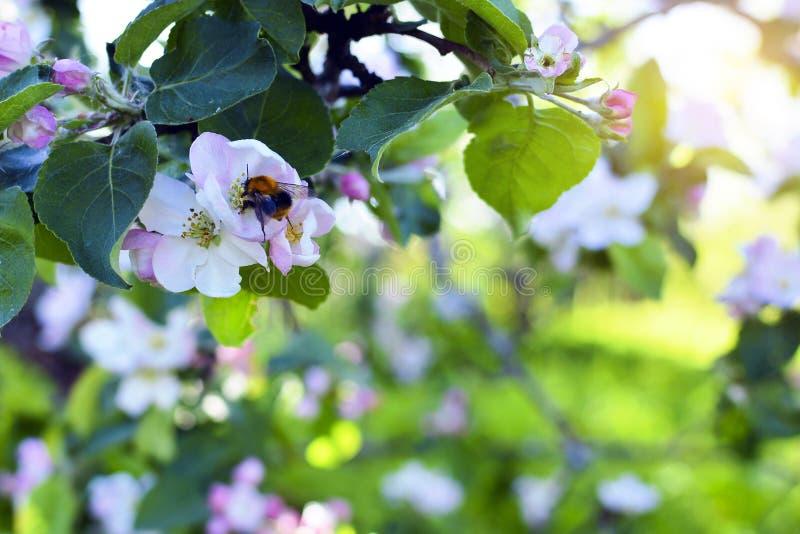 与一只飞行的土蜂的开花的苹果树 关闭与一只飞行的土蜂的一棵开花的苹果树 库存照片