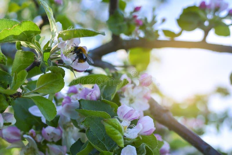 与一只飞行的土蜂的开花的苹果树 关闭与一只飞行的土蜂的一棵开花的苹果树 免版税库存图片