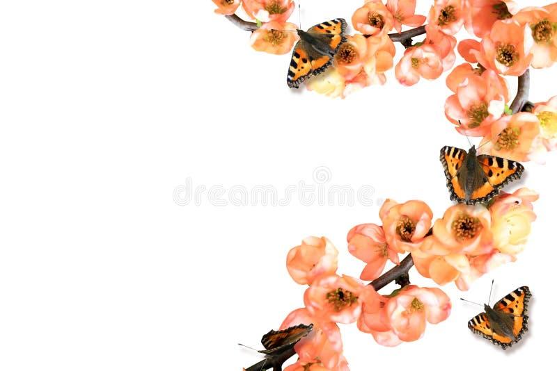 与一只黄色蝴蝶的桃红色开花的分支 库存图片
