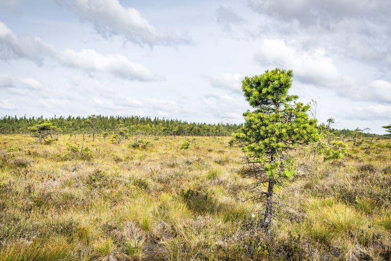 与一唯一松树的原野风景 图库摄影