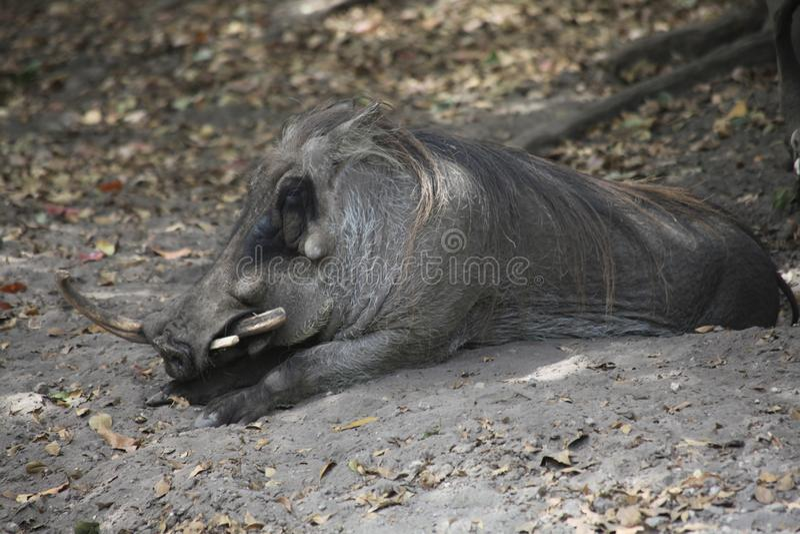 与一块垫铁的一头公猪 库存照片