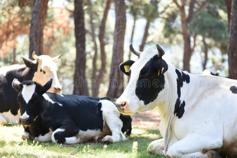 与一张愉快的面孔的草食的母牛 免版税库存图片