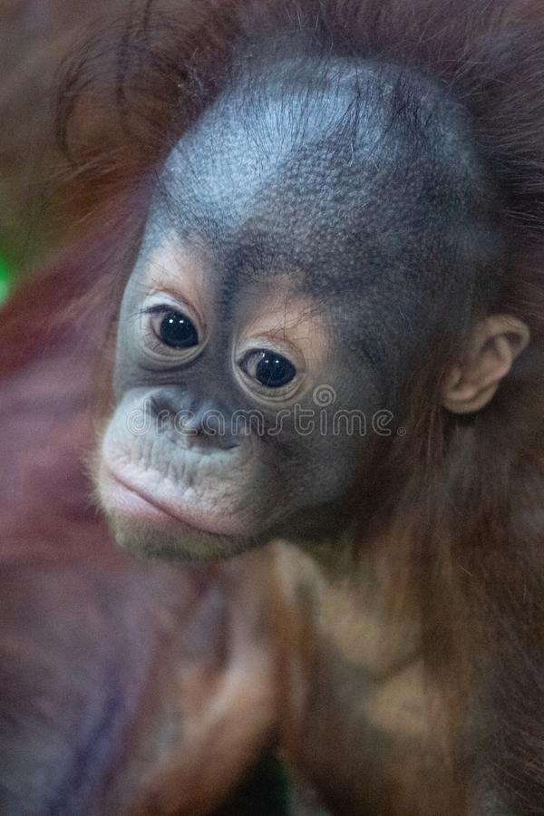 与一张滑稽的面孔的懒惰观看发生了什么的一只沉思橙色猩猩的画象 库存照片