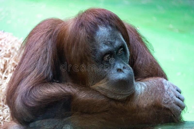 与一张滑稽的面孔的懒惰观看发生了什么的一只沉思橙色猩猩的画象 免版税库存照片