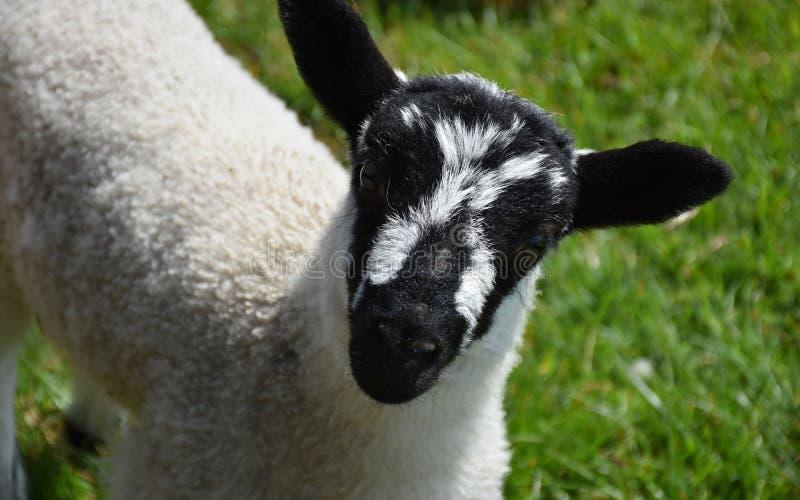 与一张甜黑白呈杂色的面孔的可爱的羊羔 免版税图库摄影