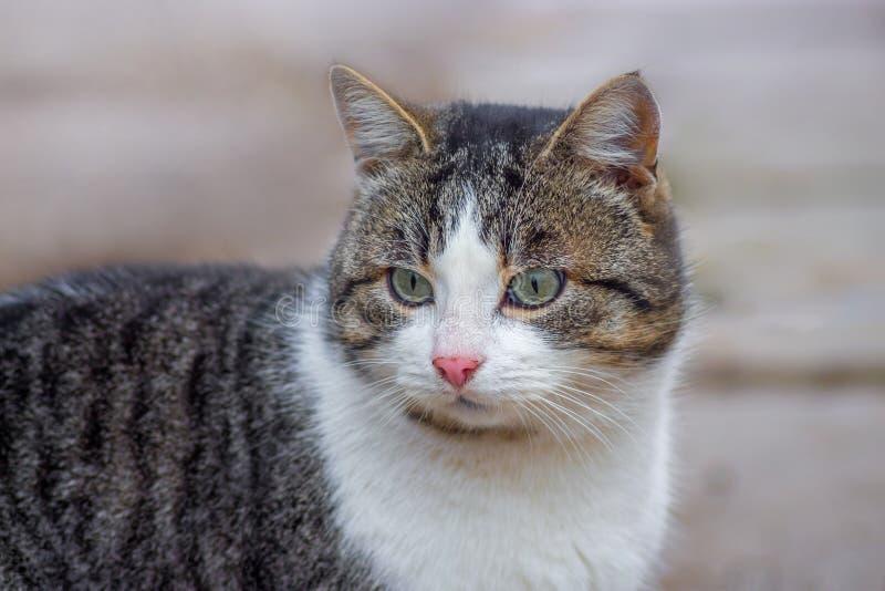 与一张白色面孔的布朗猫在walk_ 图库摄影