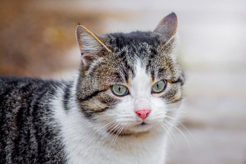 与一张白色面孔的布朗猫在walk_ 库存图片