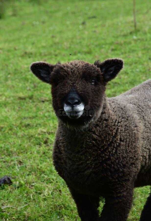 与一张非常逗人喜爱的面孔的可爱的莱兰绵羊 免版税库存图片