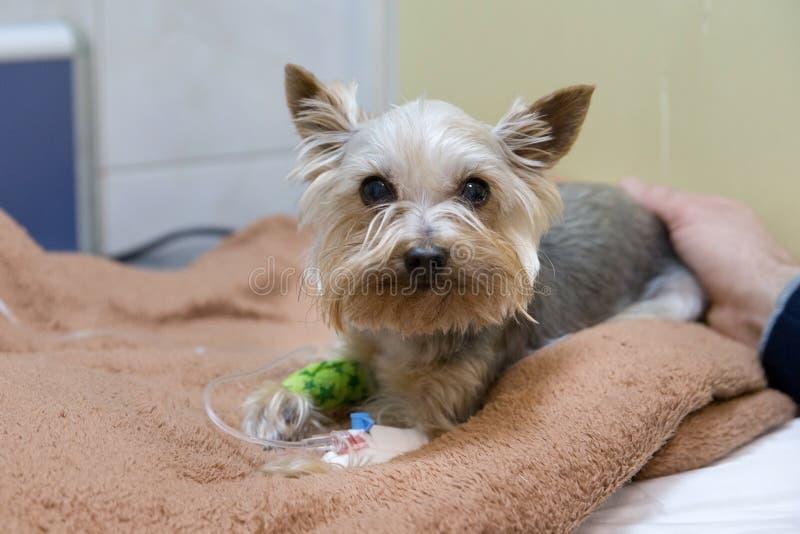 与一支导尿管的狗在诊所的一位狩医 库存照片