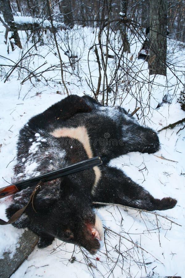 与一杆枪的战利品黑亚洲喜马拉雅熊在寻找以后在冬天 免版税库存照片