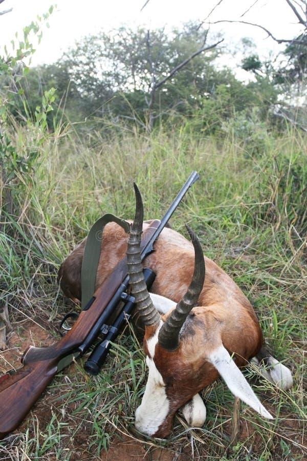 与一杆步枪的战利品非洲羚羊blesbok在寻找以后 免版税库存照片