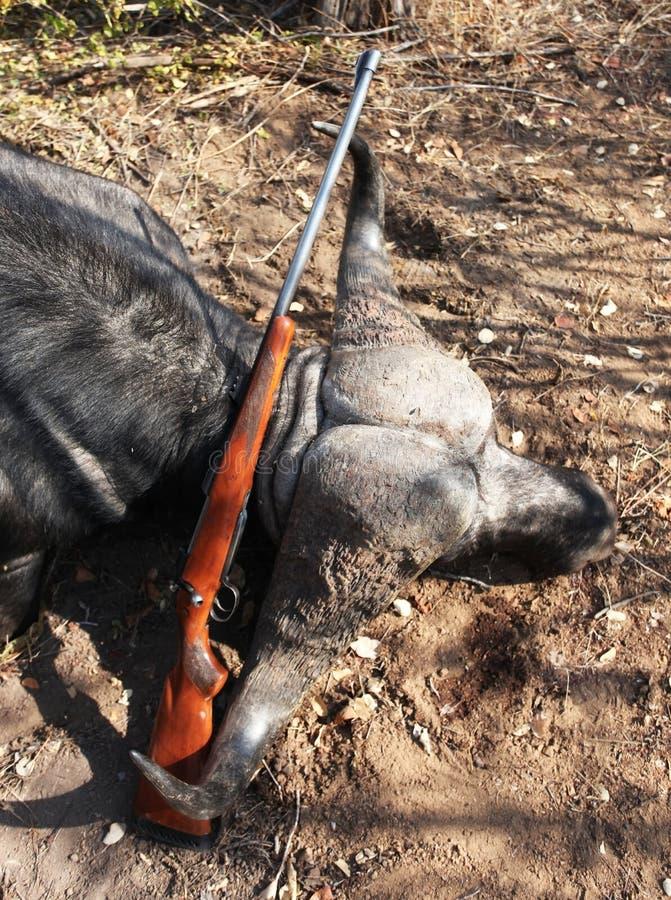 与一杆步枪的战利品Cape Buffalo在寻找以后在津巴布韦 库存照片