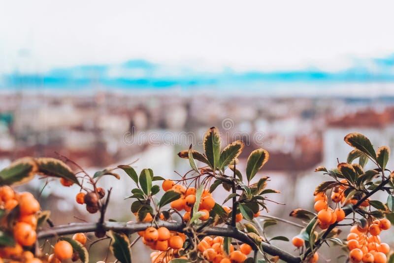 与一束的花揪分支红色成熟莓果 山梨在镇背景的aucuparia树 免版税库存图片