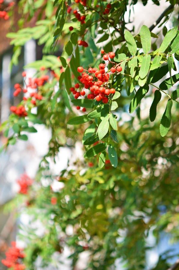 与一束的花揪分支红色成熟莓果 库存图片