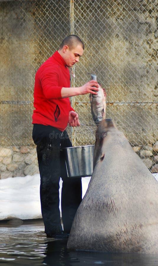 与一条大鱼的一头人提供的海狮 图库摄影