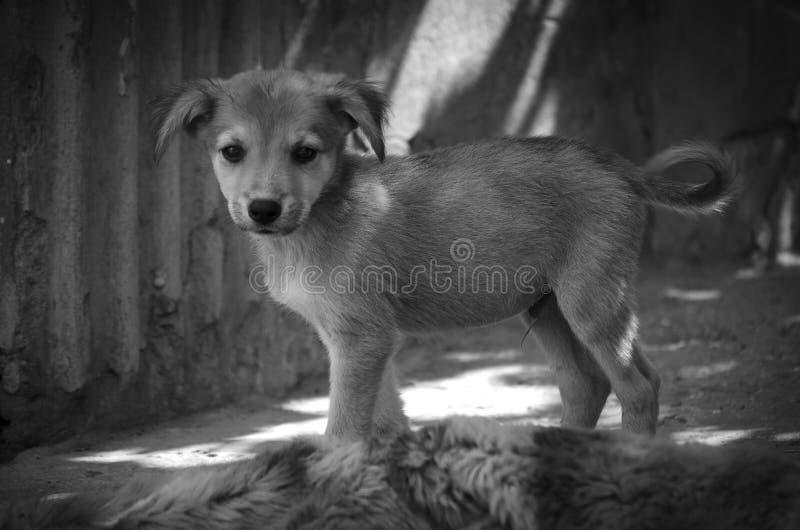 与一条小尾巴的一只逗人喜爱的小狗看摄影师 ?? 库存照片