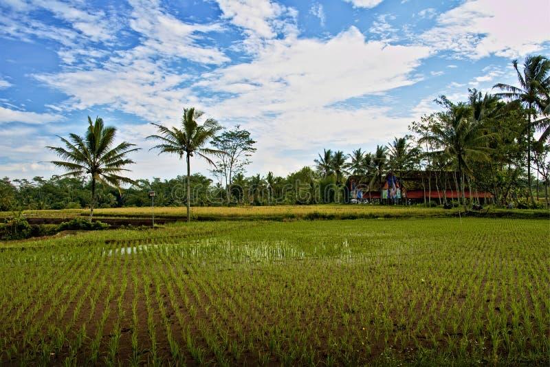 与一条小道路的稻田 库存照片