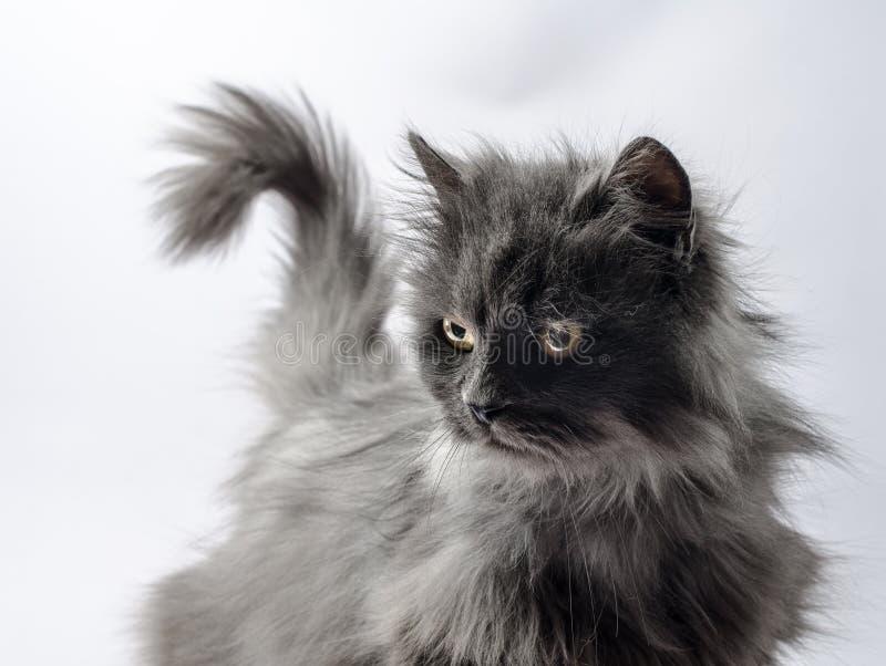 与一条尾巴的灰色蓬松困惑的猫以问题m的形式 库存照片