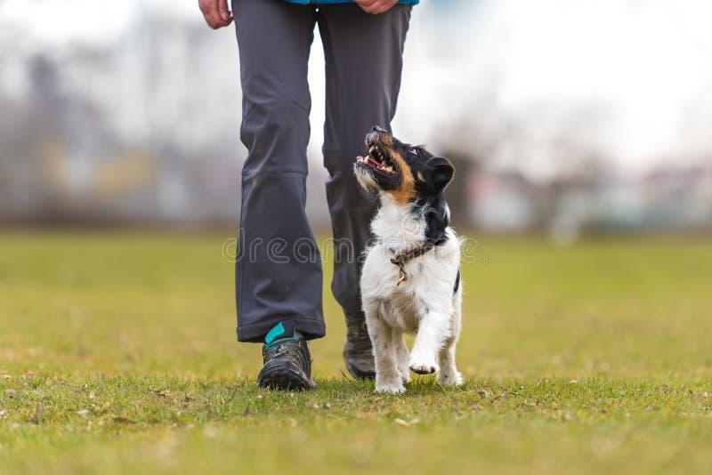 与一条服从的杰克罗素狗狗的完善的heelwork 体育运动 库存照片