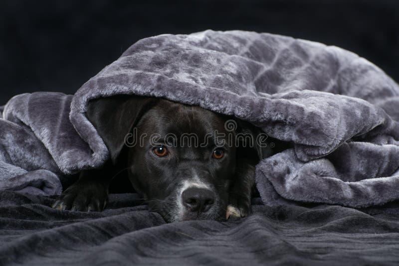 与一条毯子的黑混杂的品种狗在黑背景 库存照片