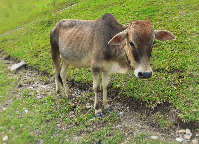 与一条绳索的一头灰色母牛在草甸的脖子身分 库存照片