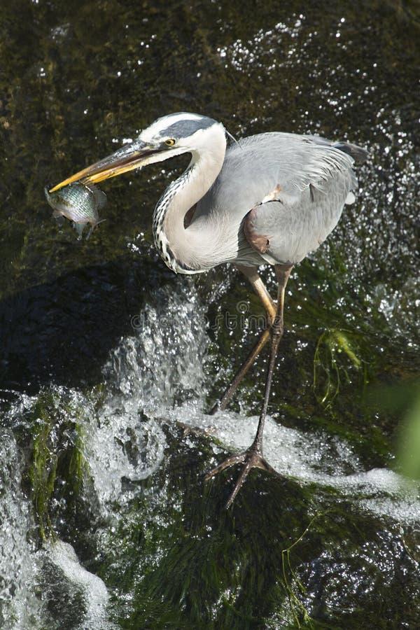 与一条鱼的伟大蓝色的苍鹭的巢在它的票据,康涅狄格 免版税库存照片