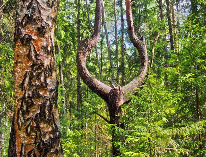 与一根分叉的树干的异常的树 免版税库存图片