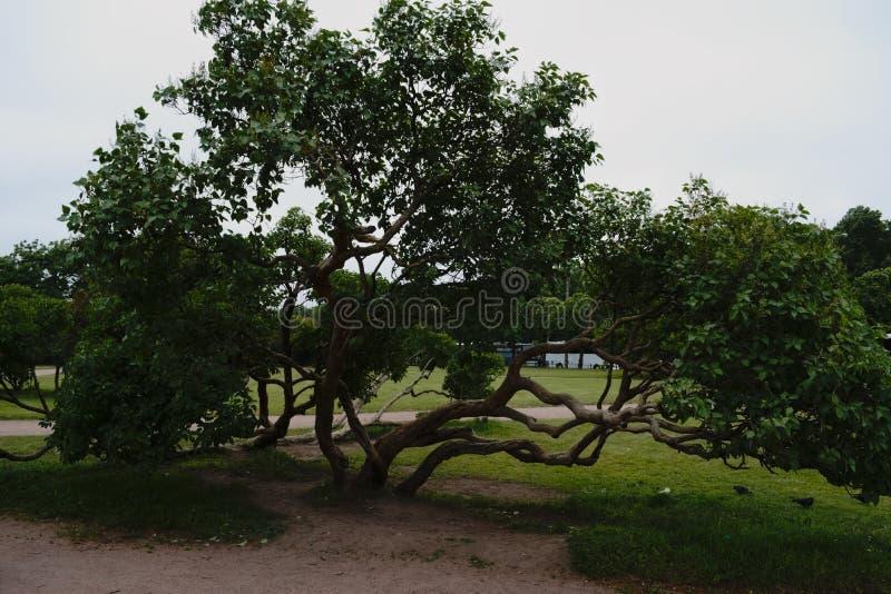 与一根显著地绞的树干的一棵美丽的树 免版税图库摄影