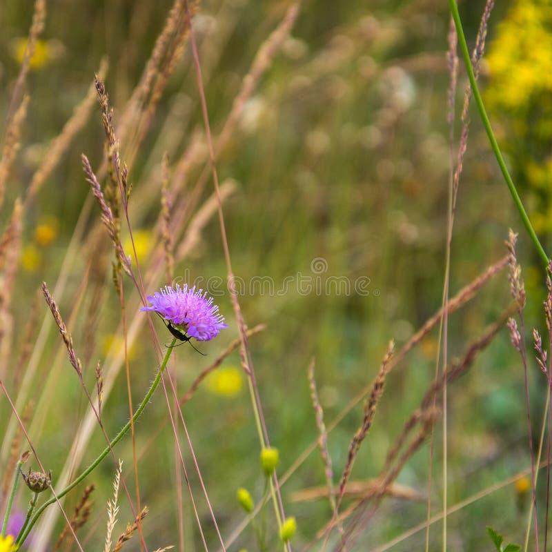 与一根长的髭的一只昆虫坐在花knautia avensis下 免版税库存照片