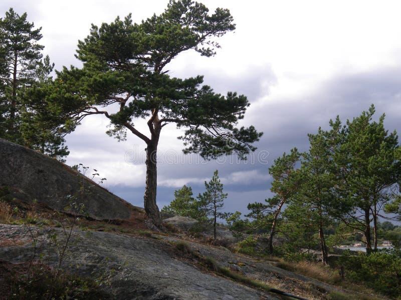 与一棵孤独的杉木的岩石倾斜 免版税库存照片