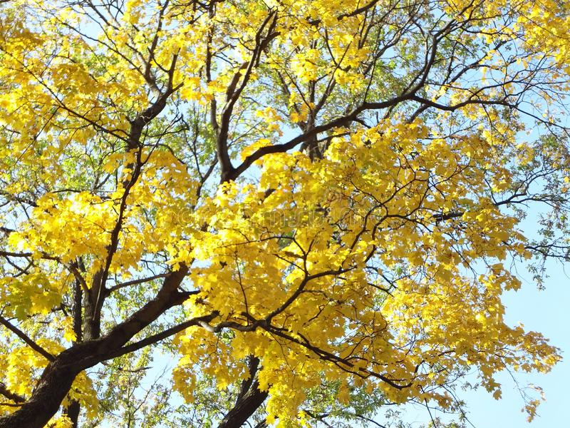 与一棵巨大的树的蔓延的分支的美好的秋天背景反对蓝天的在一个晴天 免版税库存图片