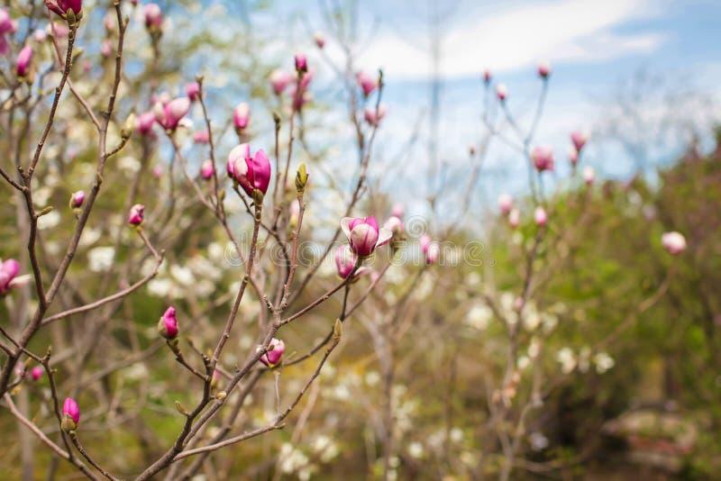 与一棵美丽的木兰树的春天风景与精美桃红色花在公园或庭院 库存图片