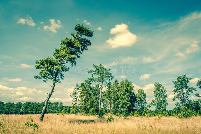 与一棵高杉树的风景 免版税库存照片