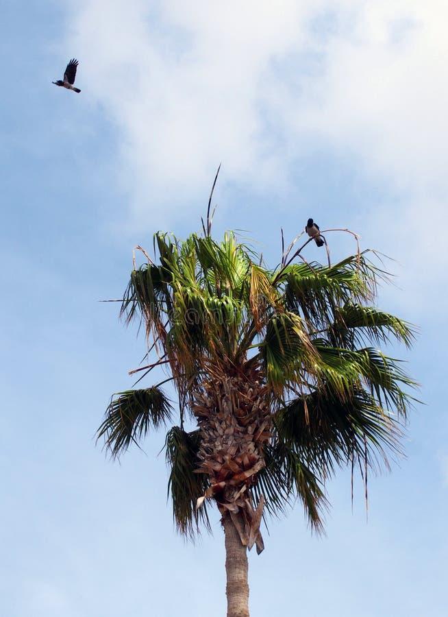 与一次飞行和其他的两只戴头巾乌鸦在栖息在棕榈树 免版税图库摄影
