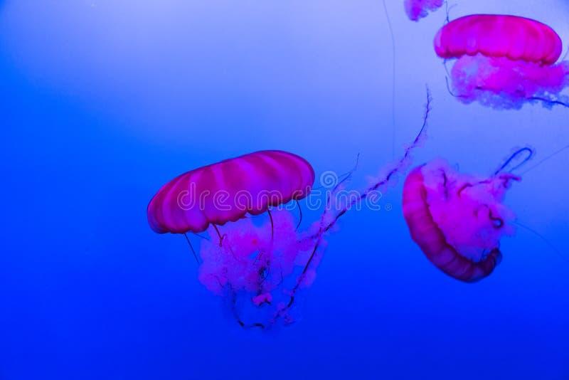 与一点桃红色水母动物的狂放的海洋生物场面在水族馆 免版税图库摄影