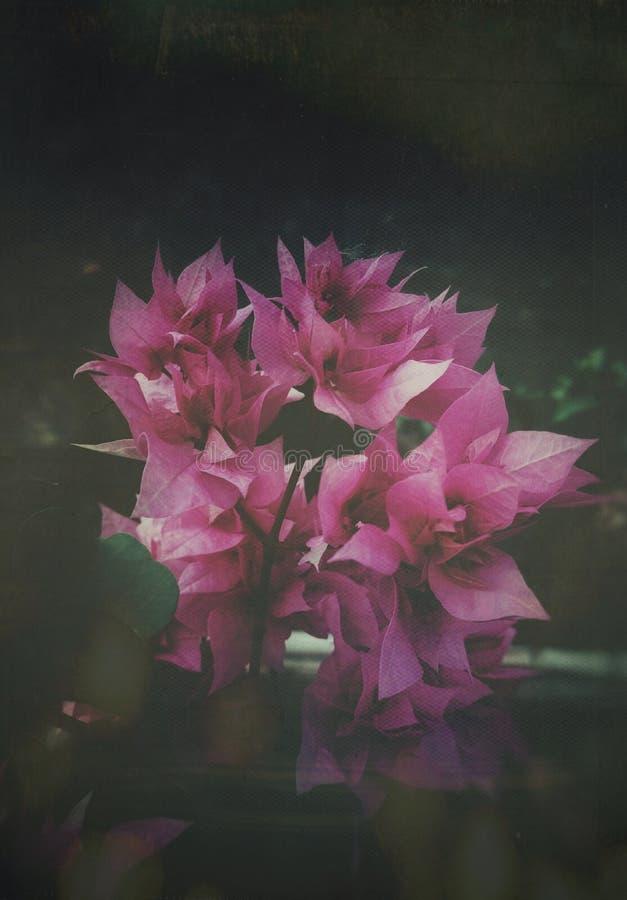与一种艺术性的接触的美丽的桃红色九重葛 免版税库存图片