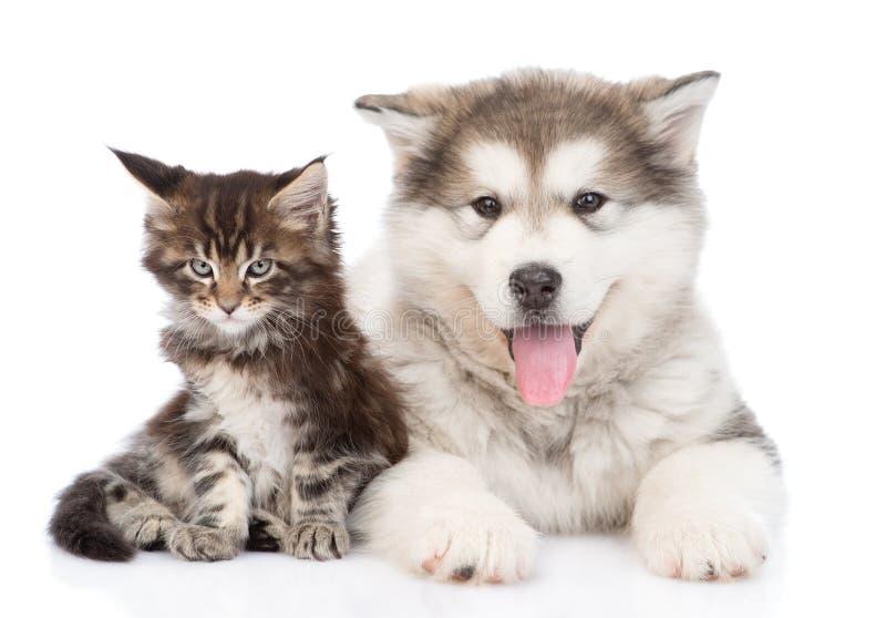 与一起一点缅因树狸猫的小阿拉斯加的爱斯基摩狗狗 库存照片